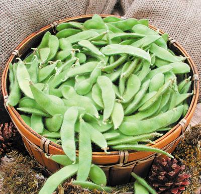 Sayamusume Bean (ถั่วลันเตามูซั่ม)