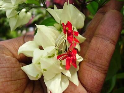 พวงเงิน Clerodendrum thomsoniae seeds / 10 เมล็ด