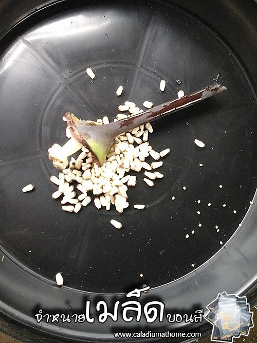 เมล็ดบอนสี บางพลี+พระยามนต์ 100 เมล็ด / Caladium seeds.100 seeds.