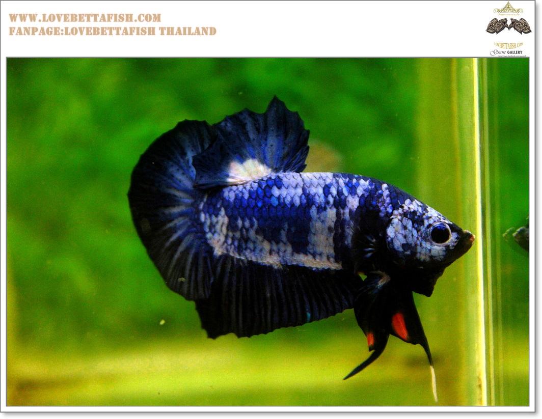 คัดเกรดปลากัดครีบสั้น-Hi- Quality Halfmoon Plakat Fancy Blue Dragon Quality Grade