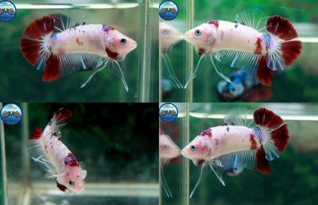 """(ขายแล้วครับ)NICE LOVEBETTAFISH KOI """"คัดเกรด""""ปลากัดครีบสั้น-Halfmoon Plakats"""
