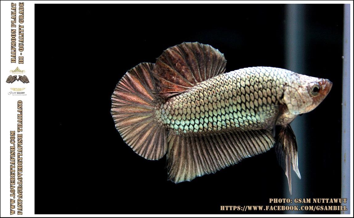 คัดเกรดปลากัดครีบสั้น-Halfmoon Plakat Copper Colors