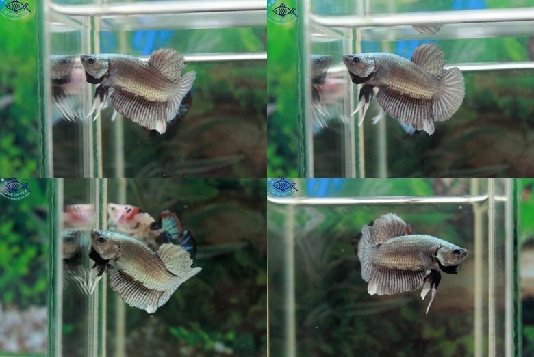 (ขายแล้วครับ)ปลากัดครีบสั้น-Halfmoon Plakats Super Copper