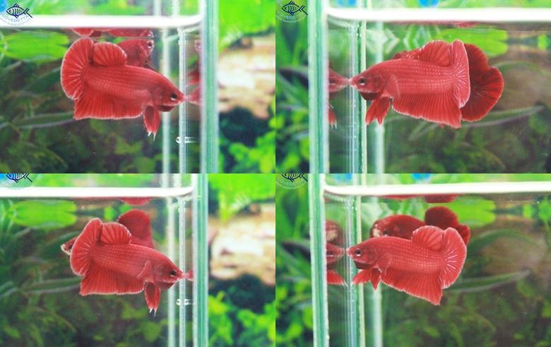 """(ขายแล้วครับ)""""คัดเกรด""""ปลากัดครีบสั้น-Halfmoon Plakats Super Red1"""