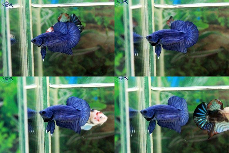 """(ขายแล้วครับ)""""คัดเกรด""""ปลากัดครีบสั้น-Halfmoon Plakats Super Fancy Blue"""