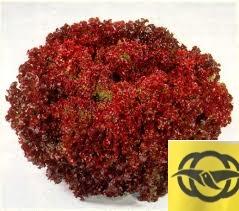 เรด คอรัล (Red Coral) 1000 เมล็ด 10 ซอง.(เคลือบ)